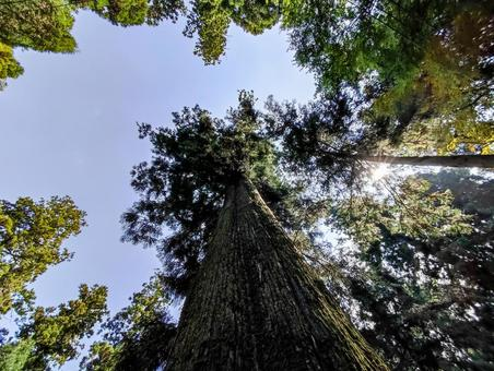 Mt. Takao looking up at a giant cedar tree