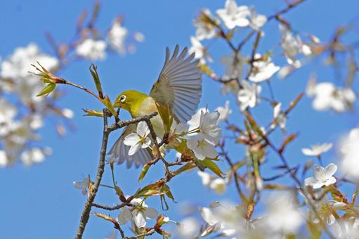 Wild cherry tree and white-eye