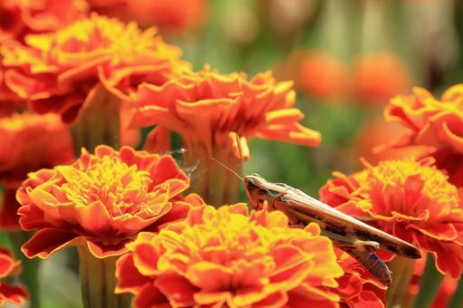 Marigold and grasshopper