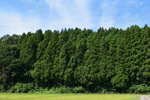 Sugi forest Mountain forest in Yamagata prefecture