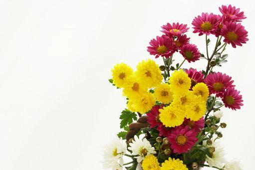 Ju chrysanthemum small