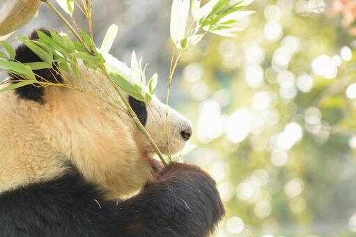 Giant panda with profile 8