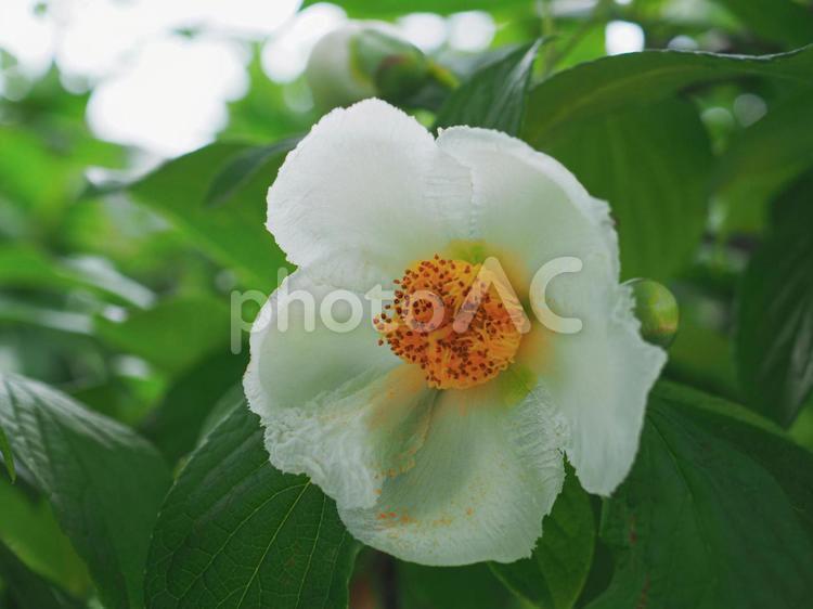 ナツツバキの花の写真