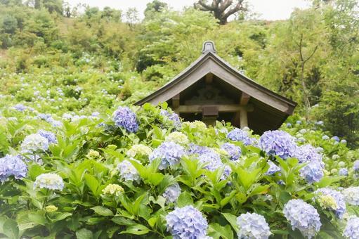 Mamenbara Plateau Light Blue Hydrangea