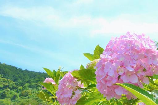 藍天和粉紅色的繡球花和青山繡球花和天空繡球花
