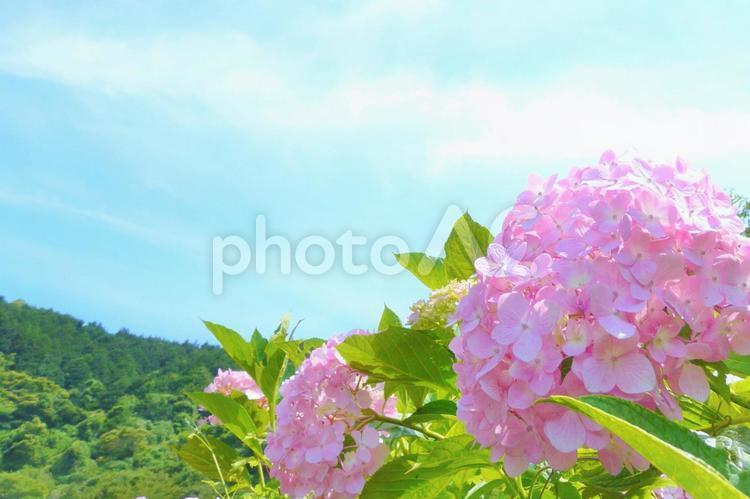 青空とピンクの紫陽花と緑の山 アジサイと空 あじさいの写真