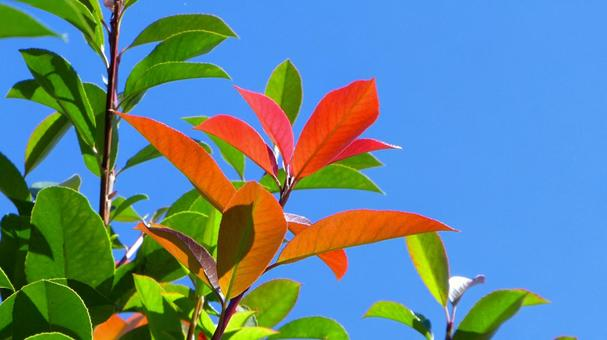 Red leaves that shine in the autumn sky