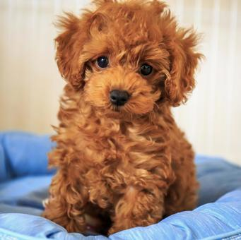 Toy poodle puppy posing on a pet bed