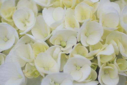 White hydrangea closeup 1