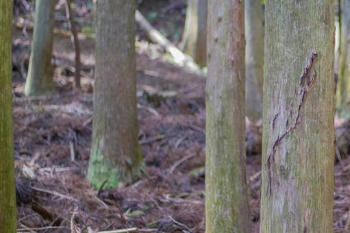 Cedar Forest 4