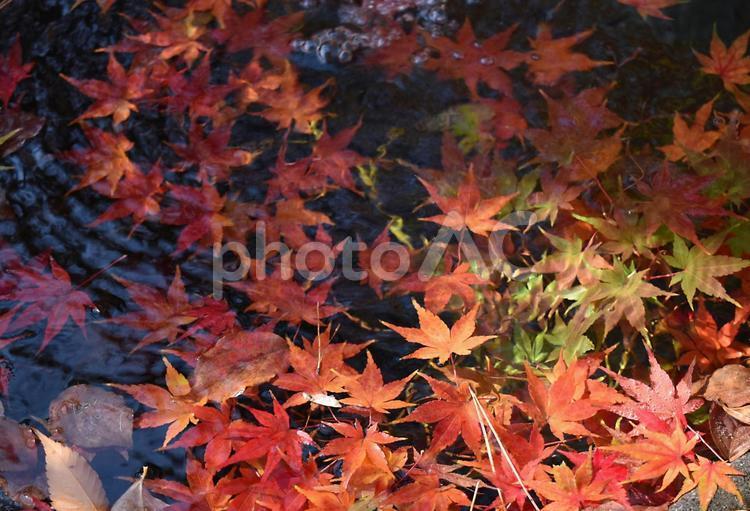 水面 もみじ 紅葉の写真