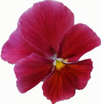 Red pansy flower (with PSD)
