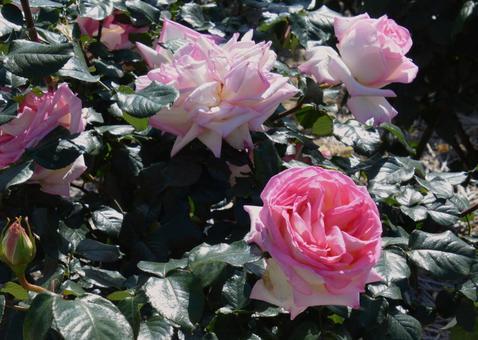 분홍색 장미 공주 드 모나코