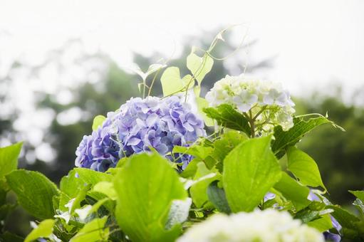 Mamenbara Plateau A bluish-purple hydrangea that shines in the sun