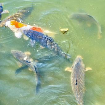 연못의 잉어 _2