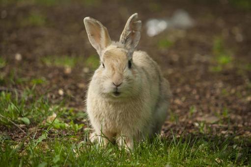 A light brown rabbit on the grass