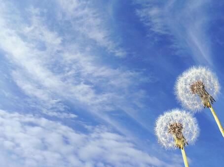 Dandelion and blue sky 1