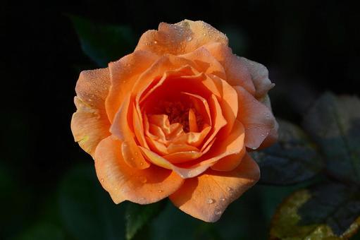 帶有晨露的鮭魚粉玫瑰的前面 科學名稱孟加拉語