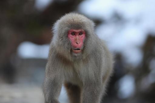 地獄谷Yaen-Koen猴子