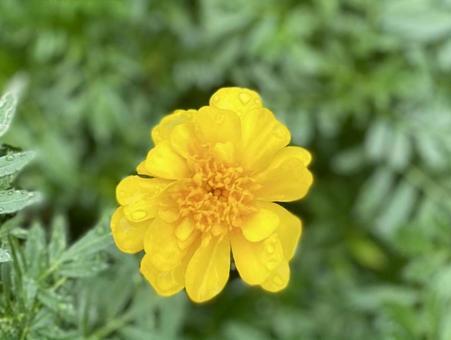 Marigold wet in the rain