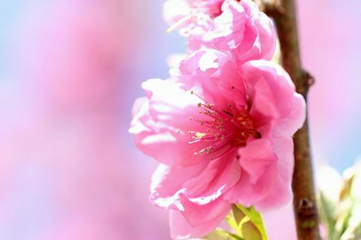 Flower Peach 02
