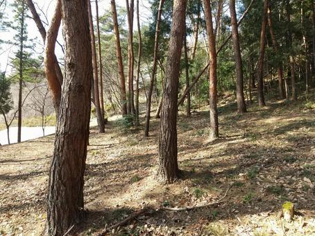 봄의 소나무 소나무 숲