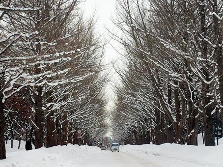Hokkaido University Ginkgo biloba trees in winter