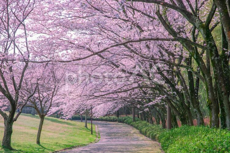 公園の散歩道に続く満開の桜並木の写真