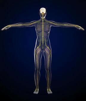사람의 신경계의 해부학 모델