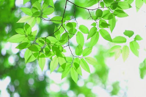 欅 新緑の葉っぱ ケヤキ