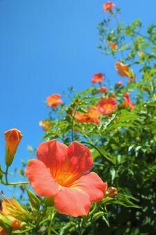 초여름의 능소화