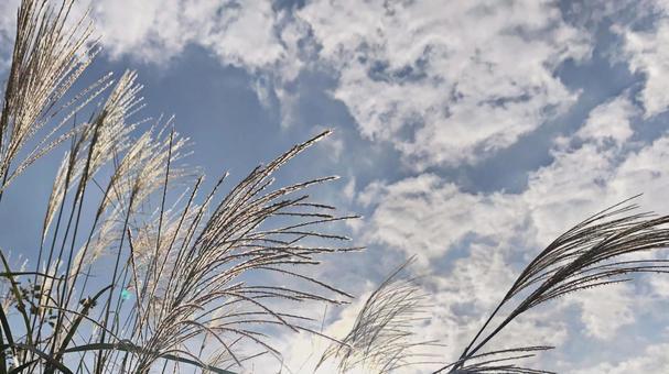Autumn pampas grass background