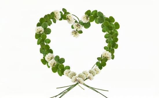White clover root