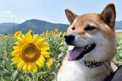 Shiba Inu, Sunflower