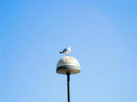 Seagulls of Finland