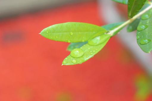 Drops of leaves
