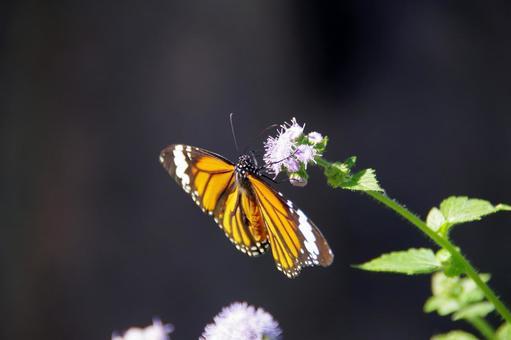 별 선두리 왕 나비 05