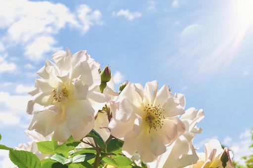 開杯盛開的玫瑰在陽光下閃耀