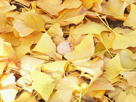 Fallen leaves and fruits of ginkgo (Ginkgo)