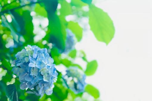 淡藍色繡球手鞠綻放 熒光色繡球花框