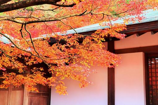 Autumn background maple with beautiful white walls and red autumn leaves