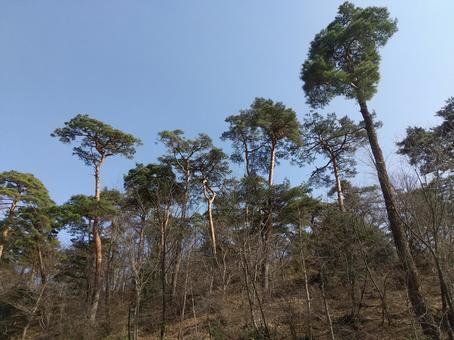 소나무 봄 푸른 하늘