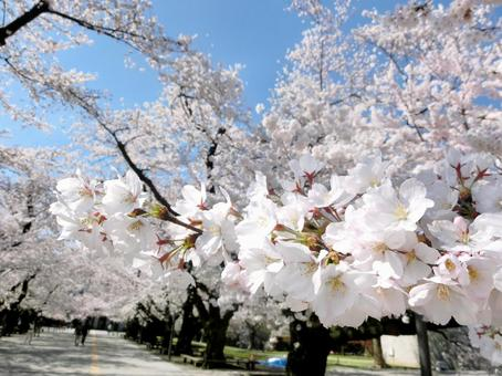 Cherry blossoms of Tokyo Tech