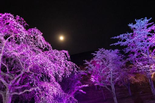 Cherry blossoms and full moon at night