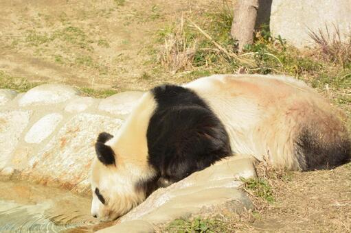 Giant panda of profile 19