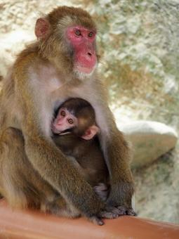 Parent and child of monkey