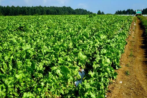 Lettuce field on the plateau