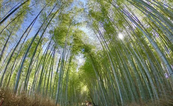 Bamboo grove in Kyoto on a sunny day