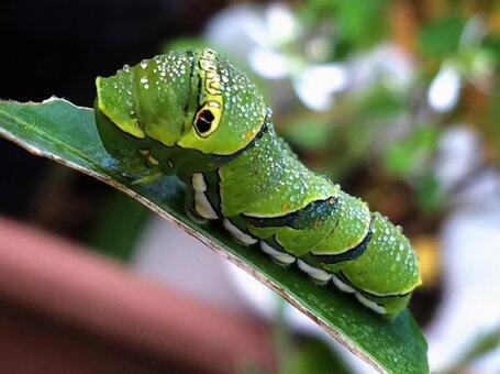 호랑 나비의 애벌레
