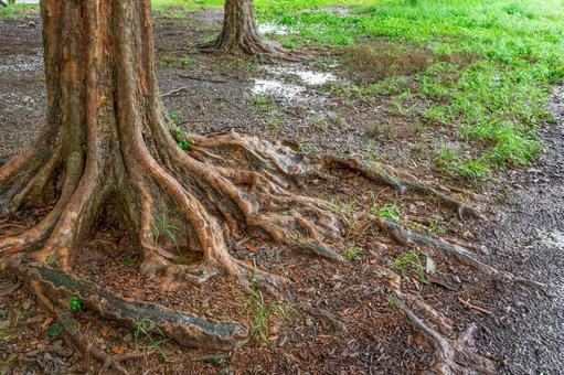 Rainy day park tree roots